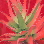 Red Agave, Sharon Weiser, Rogoway